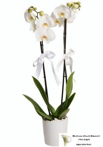 Beyaz 2 Dal Orkide